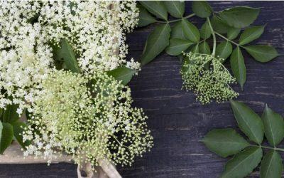 Fried elderberry – a popular gourmet delicacy