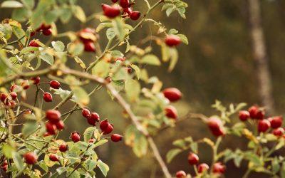 Šumsko voće – čarolija koja osvaja osjetila