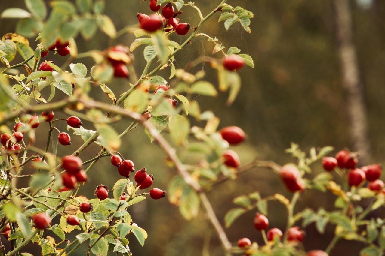 šumsko voće